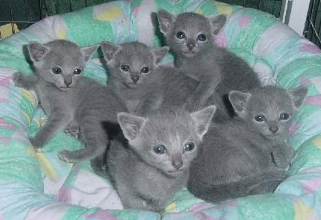 Well Trained and Hand Raised Russian Blue Kitten for Caring Hom