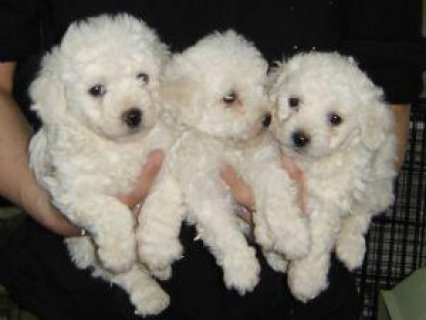 Bichon Frise puppies for free adoption22211