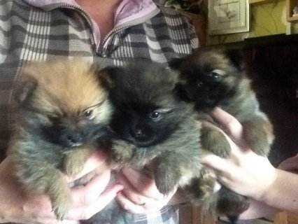صور Grey Male and Black Female Tiny Teacup Pomeranian Puppies For Sa 1