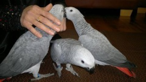 صور ,Pair of Talking African Grey parrots.. 1