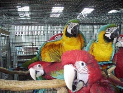 Exotic Harlequin Macaws Handfed Babies