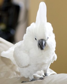Home raise cockatoo parrots available for adoption