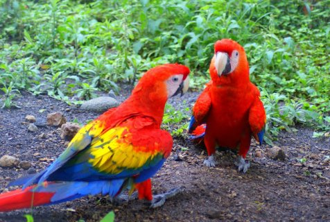 Tamed and Talking Macaw Parrots
