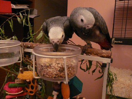 Talkative African grey parrots for sale