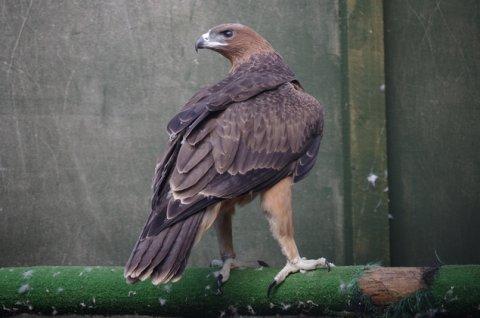 Bonelli\'s Eagle For Sale