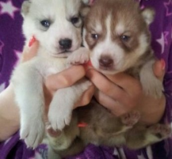 Male and Female Siberian Husky Pups For Sale