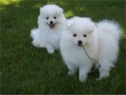 Two Healthy American Eskimos Puppies For Sale