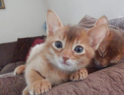 Abyssinian Kittens - LOW COST, BEST QUALITY For Sale