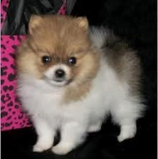 Purebred Pomeranian Puppies For Sale
