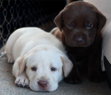 Cute labrador retriever puppies For Sale