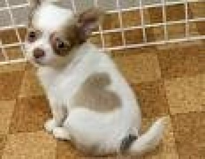 male and female chihuahua puppies available For Sale