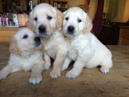 Stunning Golden Retriever Puppies