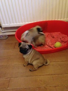 Pugs ...kc Registered Quality Pedigree Puppies ...