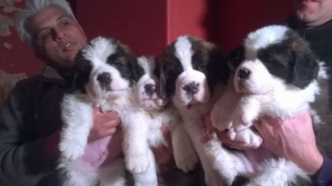 Stunning St Saint Bernard Puppies For Sale