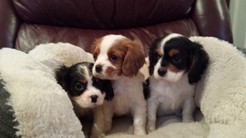 Beautiful Tri 2 King Charles Cavaliar Spaniels For Sale