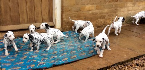 Black Spot Pedigree Dalmatian For Sale