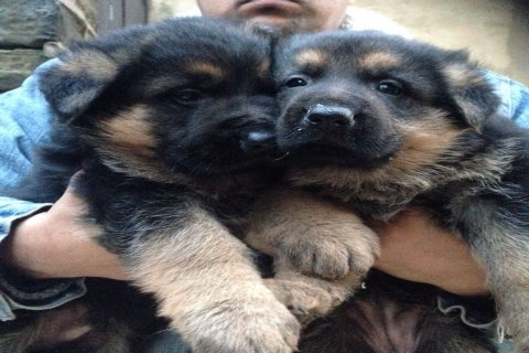 Beautiful German Shepherd Pups For Sale Ready Now