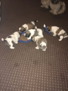 Pure Bred Shihtzu Puppies Ready Now!!