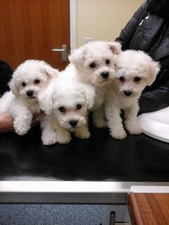 """ Beautiful Bichon Frise Babies Ready Now \"""