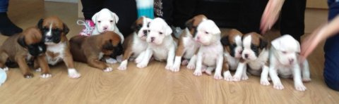 Boxer Puppies Kc Registered ready for their new home forever
