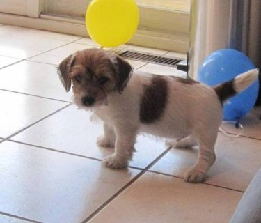 صور Jack Russel Puppies For Sale,,,, 1