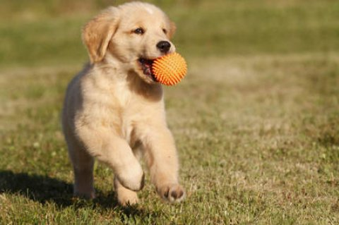 صور Playful Golden retriever Puppies,,,,,, 1
