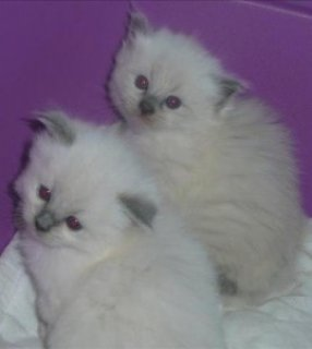 صور Purebred Ragdoll Kittens for re-homing 1