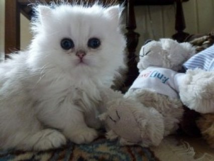 صور Cute Persian Kittens Available for adoption>><>><>> 1