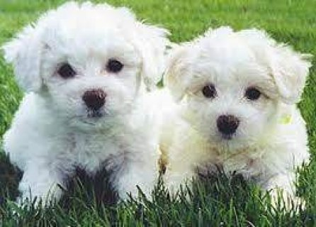 Good looking Bichon Frise Puppies For Sale