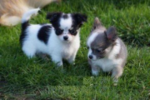 Gorgeous chihuahua puppies ready for Sale