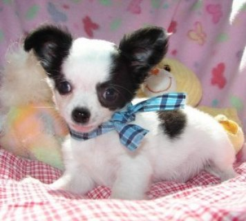صور Chihuahua Puppies for You 1