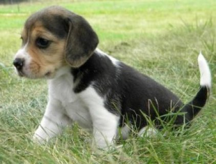 صور akc black-tan & white ticked male beagle For Sale 1