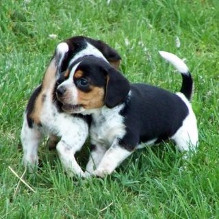 صور Awesome beagle puppies ready to go out now. 1