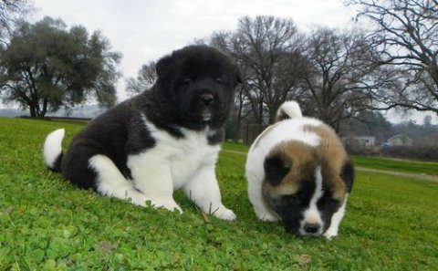 صور sweet akita puppies for adoption 1