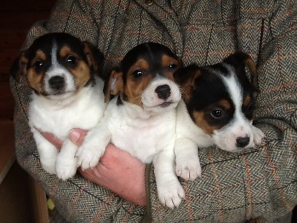Lovely Jack Russel Puppies looking for a new home!