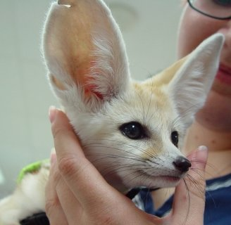 Fennec foxes ready for a new home