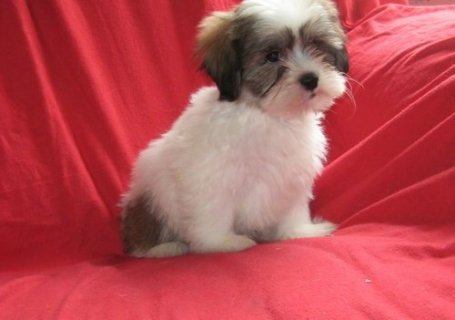 صور Well Trained shih tzu Puppies 1