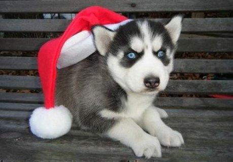 Siberian Husky BABIES, ACA registered,