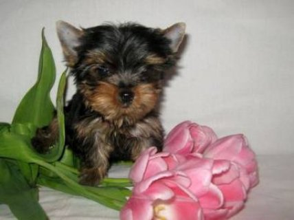 صور Charming Yorkie Puppies 1