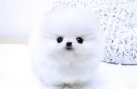 صور cute manle and female pomeranian puppies for adoption 1