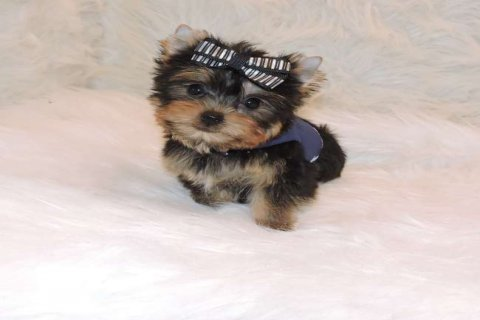 Teacup Yorkie Now Available For Rehoming
