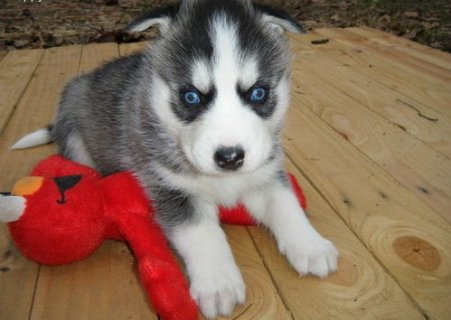 New Siberian Husky Puppies with Blue Eyes For Rehoming