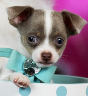 Home trained chihuahua puppies ready for re-homing