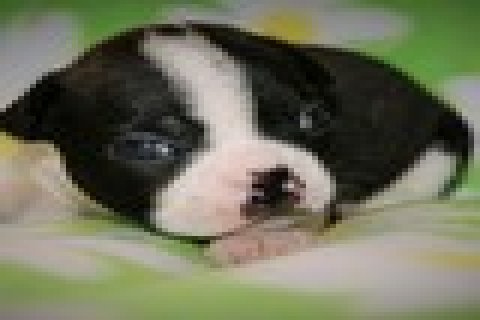 Female Beautiful Black brindle and white Boston Terrier Puppies