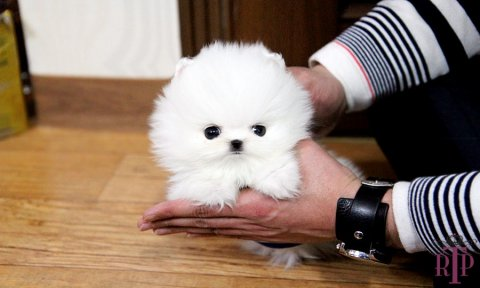 Baby Cotton Tiny Pomeranian For Sale.