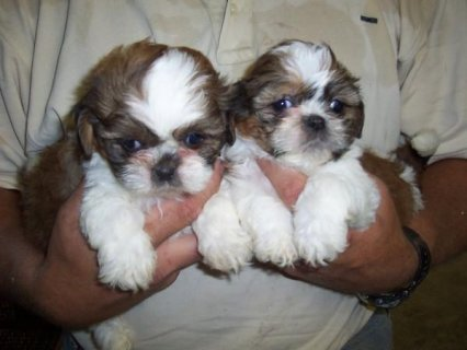صور two Shih Tzu puppies for sale 1