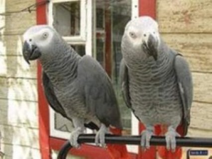 African Grey Parrots for sale,,..,.,.,.,.,.