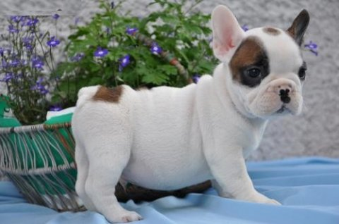 French Bulldog puppies for sale.,....