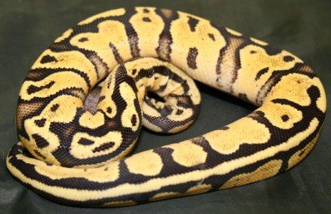 Hatchling Female Hatchling Ball Pythons For Sell
