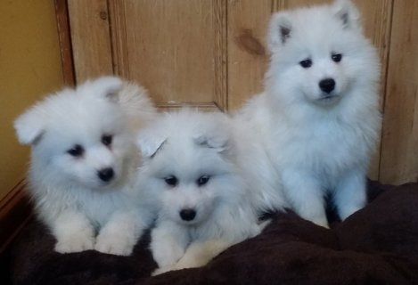 Lovley Samoyed Puppies pure white pure bred samoyed puppies